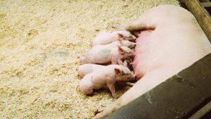Fläschchen beim Schwein